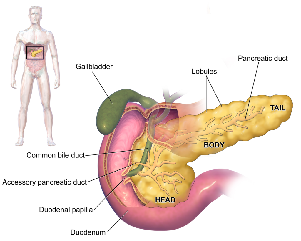 blausen_0699_pancreasanatomy2